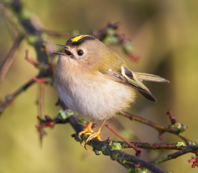 Goldcrest_Flickr_Cliff-Watkinson_CC-BY-SA-2-0
